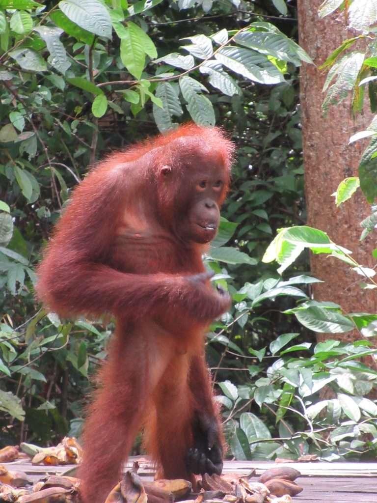 Orangután bebé