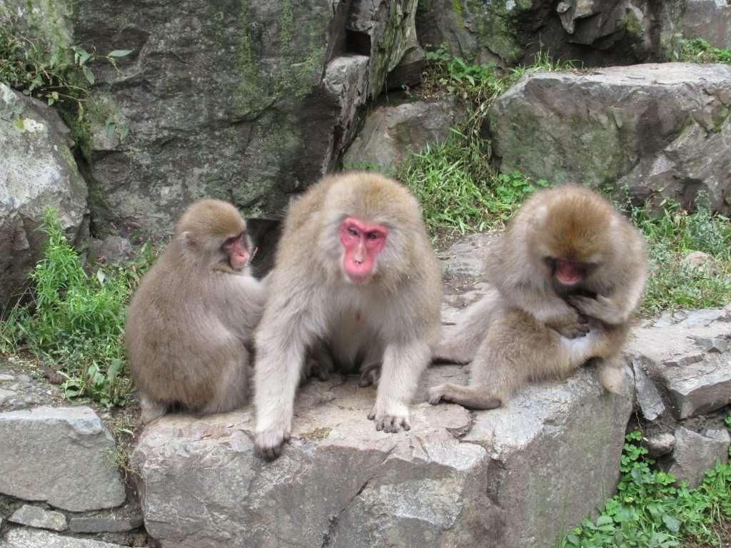 Familia de snow monkey