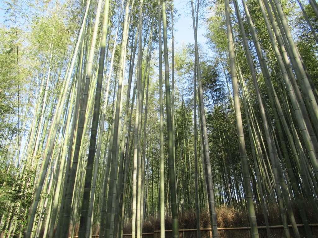 Bosque de bambú, Arashiyama.
