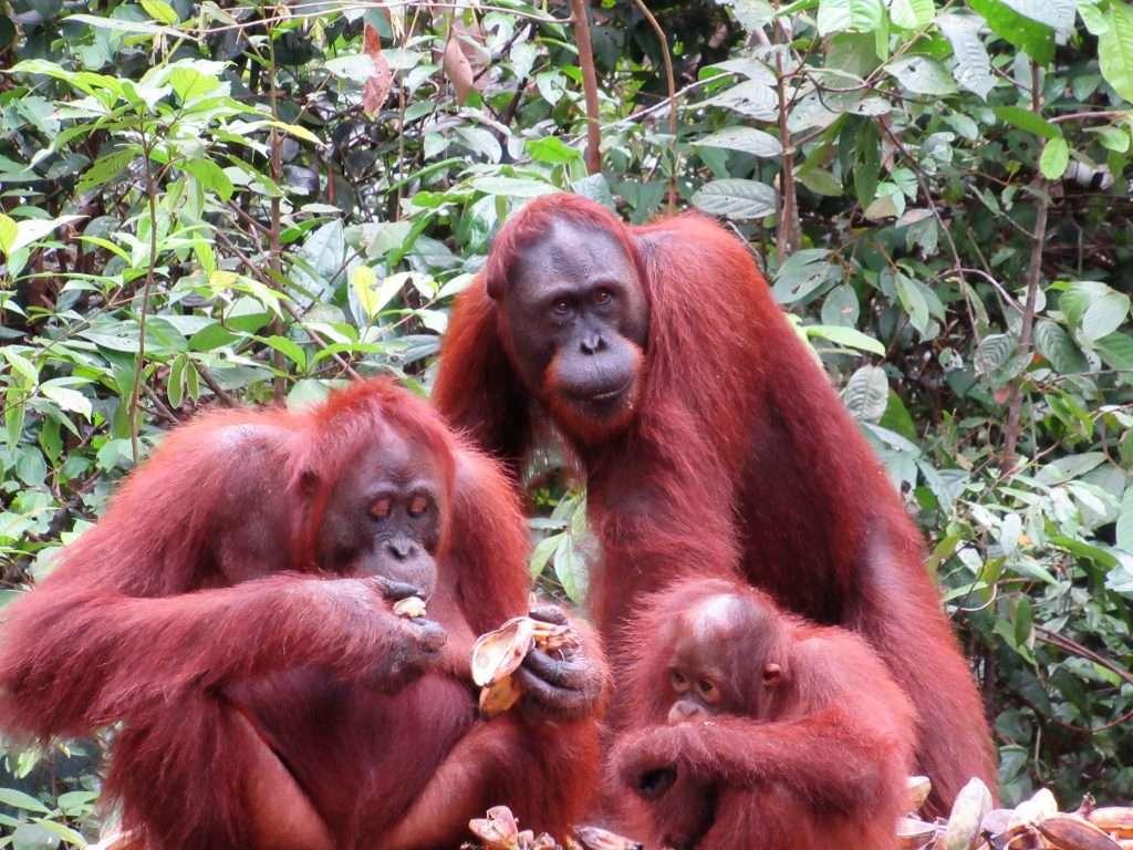 Familia de Orangutanes