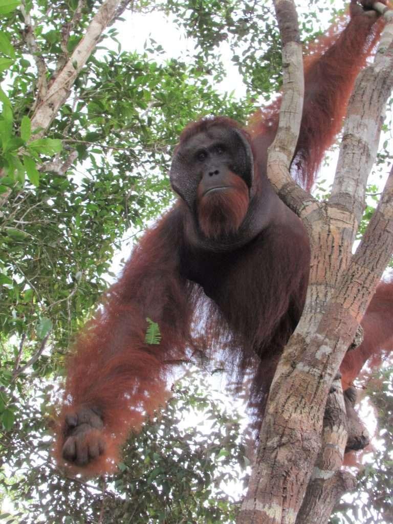 Orangután macho en Borneo